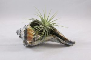 Air Plant in Sea Shell