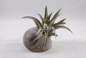 Air Plant in Broken Sea Shell