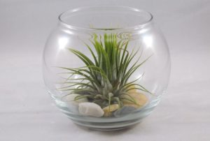 Air Plant with River Rocks in a Jar
