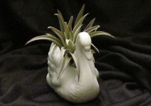 Air Plant in Ceramic Swan
